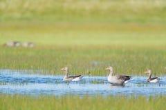 Gooses in acqua Fotografia Stock