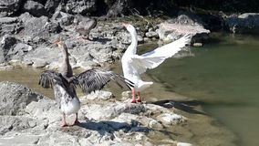 Gooses attempt flying Stock Photo