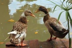 Gooses auf einem Pool Stockfotos