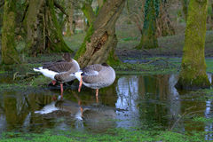 Gooses in the autumn Stock Photos