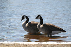Gooses on beach Royalty Free Stock Images