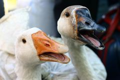 Gooses blancs Photographie stock