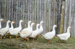 Gooses brancos Imagens de Stock Royalty Free
