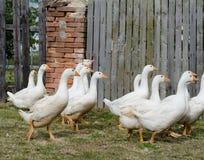 Gooses brancos Imagem de Stock