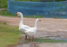 Gooses brancos na exploração agrícola Fotografia de Stock