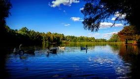 Gooses dans le lac Photo libre de droits