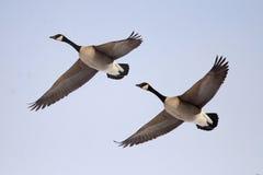 Gooses de Canada Image libre de droits