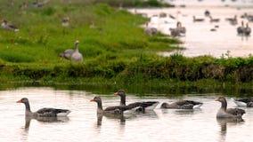 Gooses de Geylag Images stock