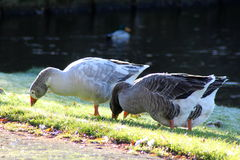 Gooses de groupe mangeant l'herbe Photo stock