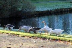Gooses de groupe mangeant l'herbe Photographie stock libre de droits