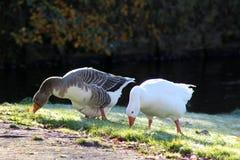 Gooses de groupe mangeant l'herbe Images libres de droits