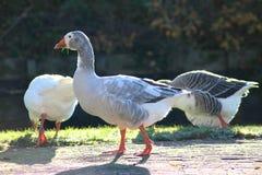 Gooses de groupe mangeant l'herbe Image libre de droits