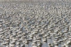 Gooses de neige image libre de droits