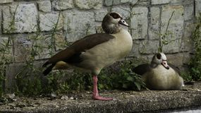 Gooses in de Stadspark van Wiesbaden royalty-vrije stock foto