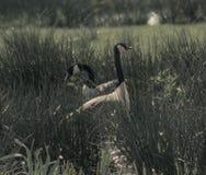 Gooses del Canada Fotografia Stock