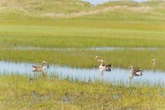 Gooses del ganso silvestre en Terschelling Imagenes de archivo