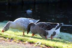 Gooses del gruppo che mangiano erba Fotografie Stock Libere da Diritti