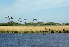 Gooses del vuelo fotos de archivo libres de regalías