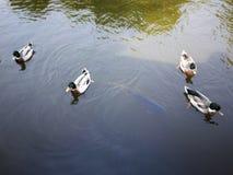 Gooses delle coppie della lavagna nel parco di nazione della Tailandia fotografia stock