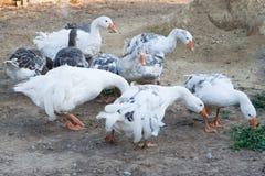 Gooses domestiques Photo libre de droits
