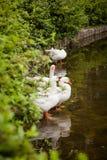 Gooses domestiques Photographie stock libre de droits