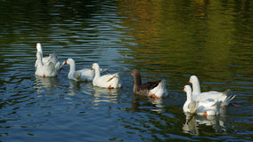Gooses and ducks Royalty Free Stock Photos