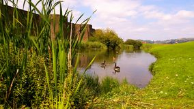 Gooses And Ducks. In the moat of Caerphilly Castle at South Wales Royalty Free Stock Photography