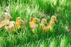Gooses in een gras Royalty-vrije Stock Afbeelding