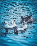 Gooses em um rebanho, na água azul do lago Três abóbadas bonitas Fotografia de Stock Royalty Free