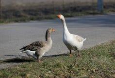 Gooses en granja fotos de archivo