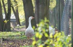 Gooses at farm Stock Photo