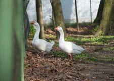 Gooses at farm Stock Photos