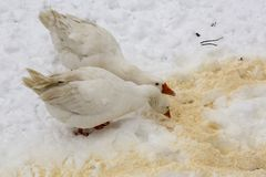 Gooses in the winter. Gooses at the farm  in the winter season Royalty Free Stock Photo