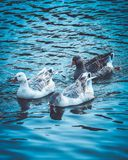 Gooses in a flock, on the blue lake water. Three beautiful domes royalty free stock photography