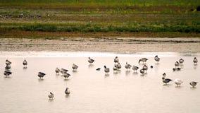Gooses Geylag Стоковое Фото