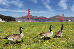 Gooses and Golden Gate Bridge Stock Images
