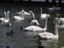 Gooses Stock Image