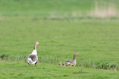 Gooses with goslings Stock Images