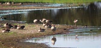 Gooses greylag группы Стоковая Фотография