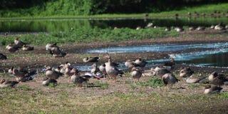 Gooses greylag группы Стоковые Фото