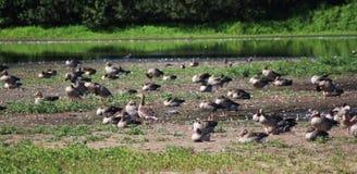 Gooses greylag группы Стоковые Изображения