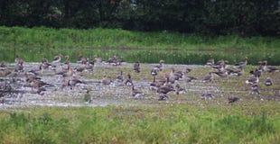 Gooses greylag группы Стоковые Фотографии RF