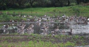 Gooses greylag группы Стоковое Изображение