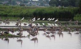 Gooses greylag группы Стоковое Изображение RF
