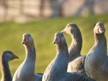 Gooses gris sur un champ de ferme marchant sur l'herbe verte Photos libres de droits