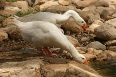 Gooses Harmony Stock Images