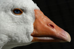 Gooses Head. A Close up of a head of a Goose Royalty Free Stock Images
