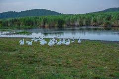 Gooses jezioro Obrazy Royalty Free