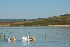 Gooses in a lake Stock Photos