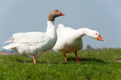 Gooses in landscape Stock Photography